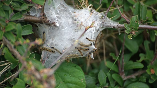 View of a caterpillar web on Blackthorn