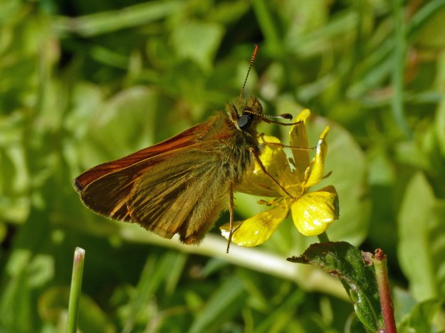 Orange and brown butterfly nectaring on a yellow flower