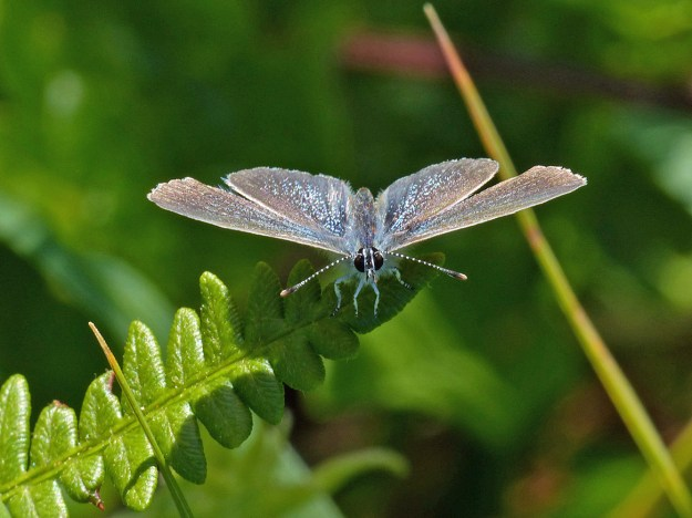 Head on view of a greyish blue butterfly resting on on a green leaf