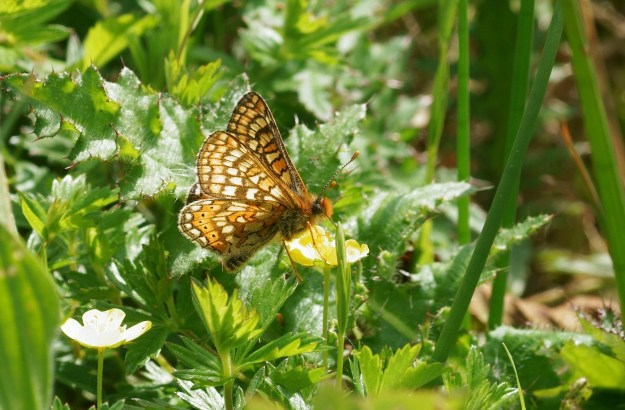 View of brown butterfly with orange and yellow markings nectaring on a yellow flower
