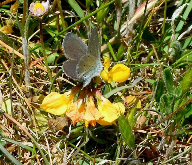View of a greyish blue butterfly with black spots on the wings resting on a yellow flower