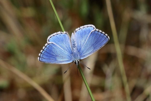 View of a bright blue butterfly resting on the green stem of a Sedge plant