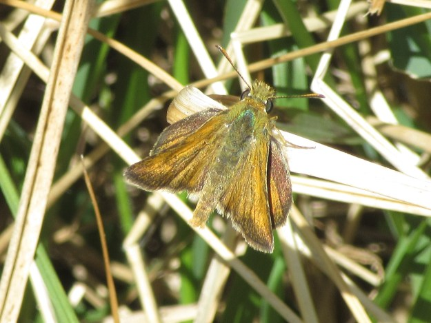 View of a resting golden brown butterfly