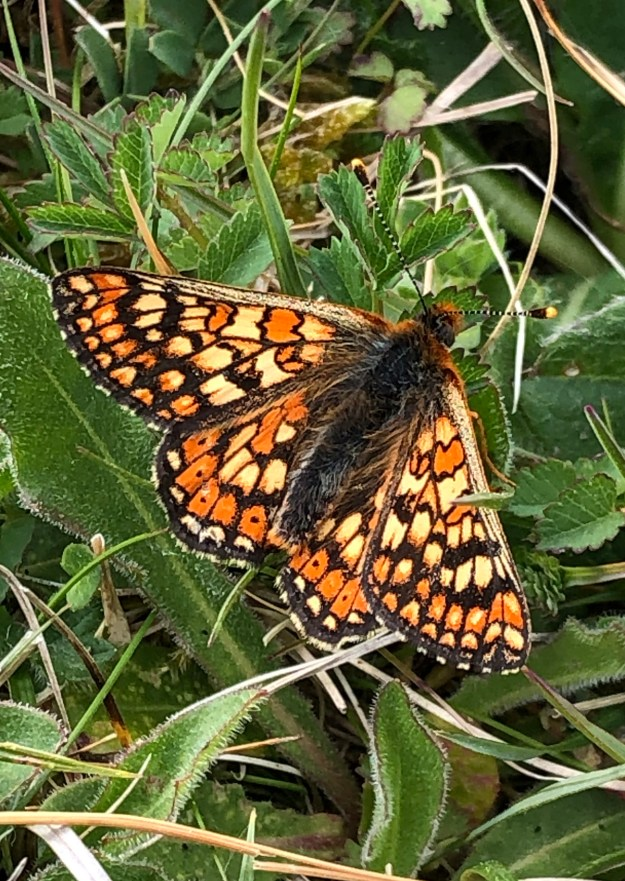 View of a bright mainly orange butterfly with yellow and black markings resting on a plant with green leaves