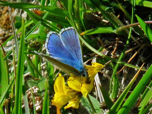 View of a bright blue butterfly on a yellow flower