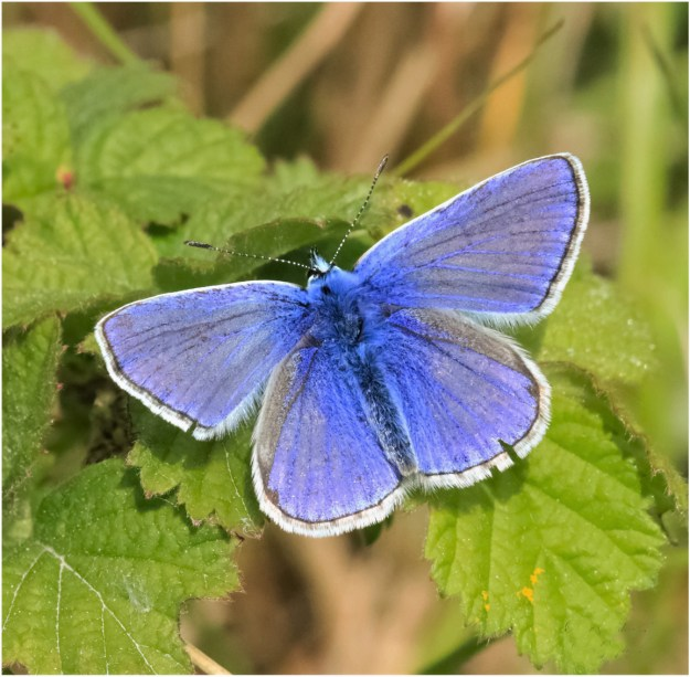 View of a blue butterfly with white fringes to the wings whilst resting on a green leaf