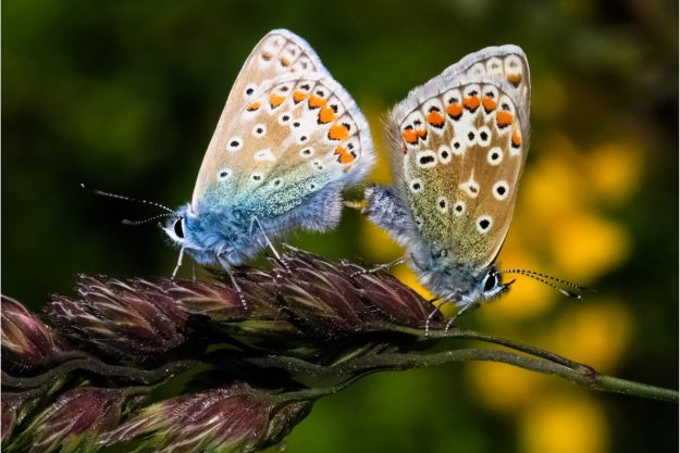 View of two resting blue and beige butterflies with orange, black and white markings.