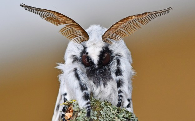 close up of the face of a black and white moth with feathered antennae