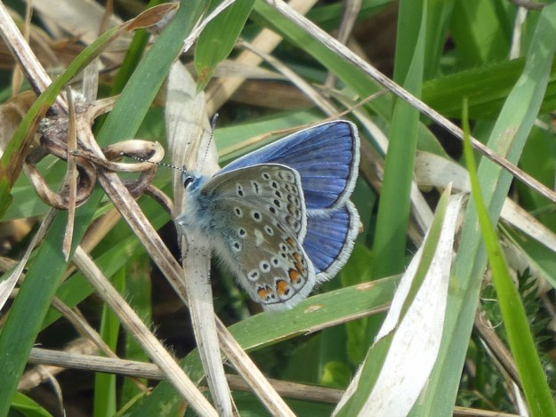 View of a resting blue and silver grey butterfly with black, orange and white markings