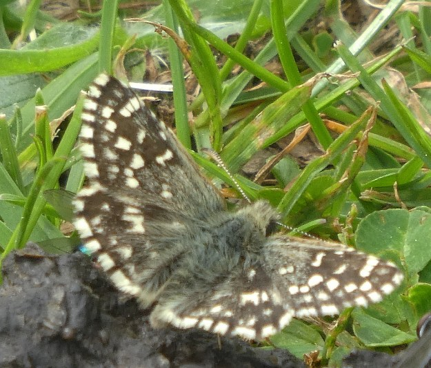 View of a blackish brown butterfly with white chequer pattern on the wings