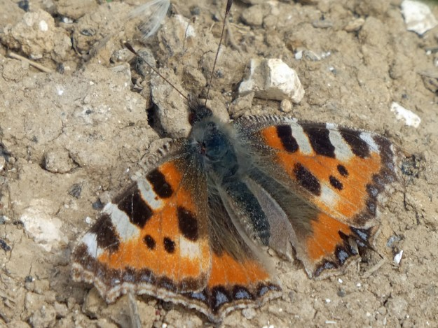 View of an orange butterfly with black and cream markings resting on the ground