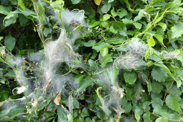 View of caterpillars in silk web on green hedge