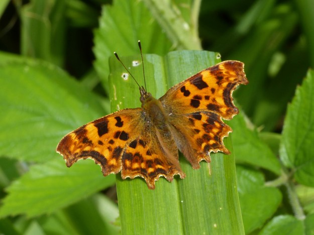 Orange butterfly with black markings resting on a green leaf