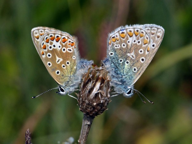 Two silvery blue and pale brown butterflies with orange, black and white markings