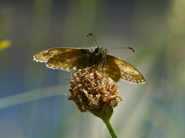 View of the underside of a brown butterfly perching on a brown flower-head