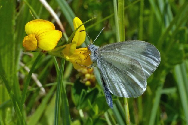 White butterfly with greyish black markings resting on a yellow flower