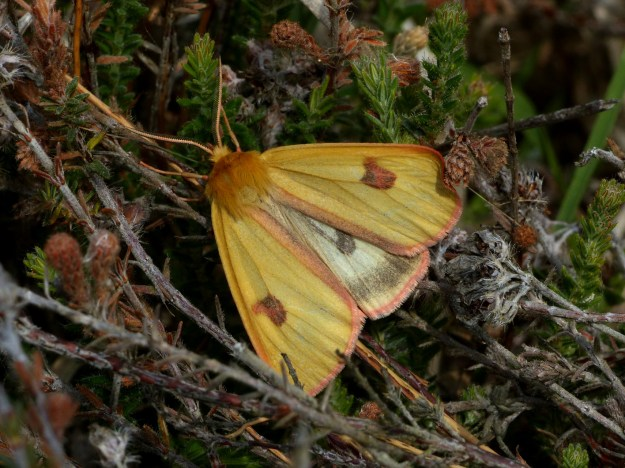 Golden yellow moth with reddish blotches on  forewings