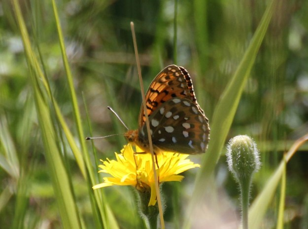 Orange butterfly with black and white markings nesctaring on a yellow flower