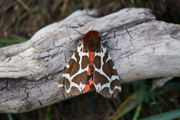 Brown and white moth with red underwings