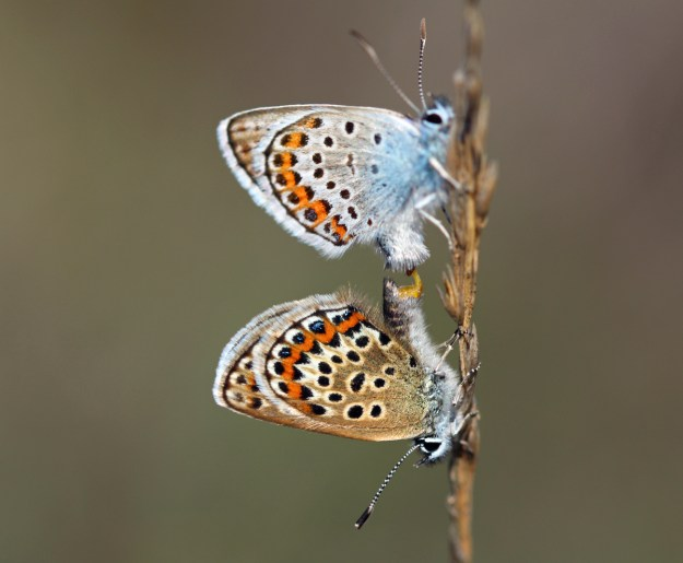 Two silvery blue and pale brown butterflies with black, white and orange markings mating