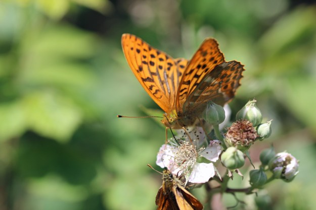 Orange butterfly with black markings nectaring on a white bramble flower