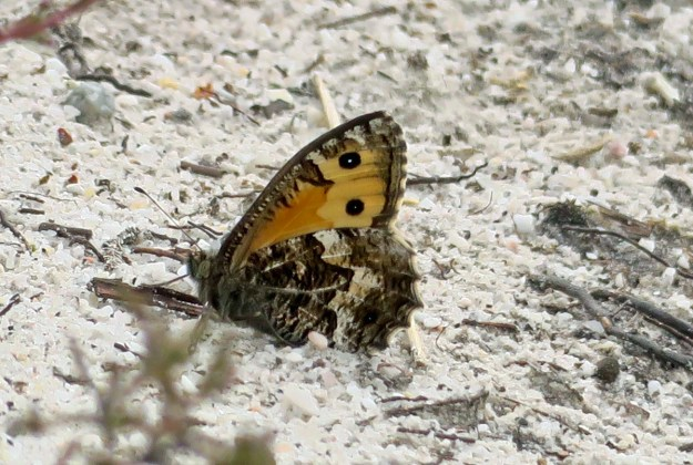 Brown and orange/yellow butterfly with some paler markings resting on the ground