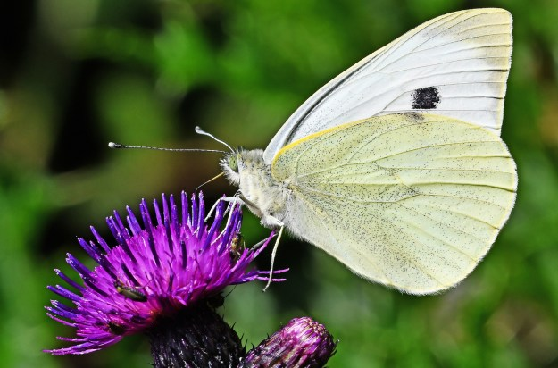 Yellowish white butterfly with one black spot nectaring on a purple flower