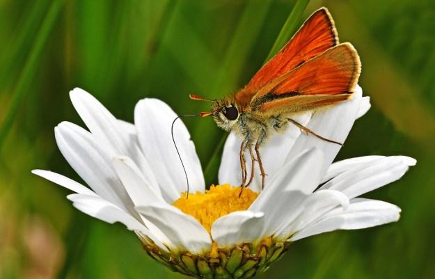 Golden orange butterfly nectaring on a white Ox-eye daisy
