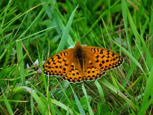Orange butterfly with black markings resting on green grass