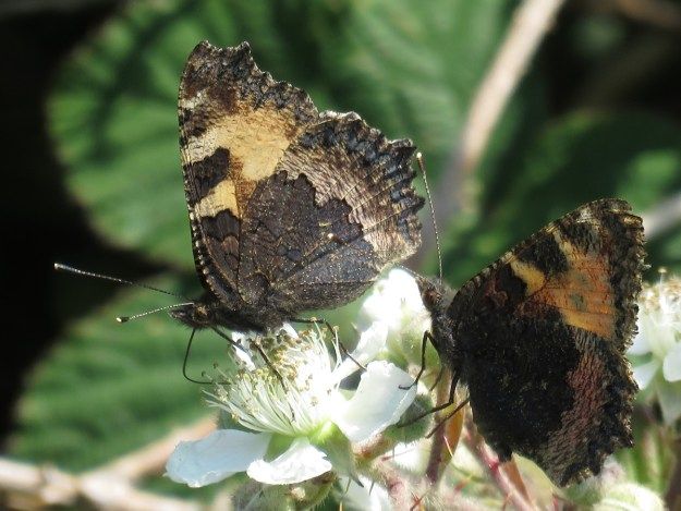 Two blackish brown butterflies with some beige and orange markings nectaring on a white flower