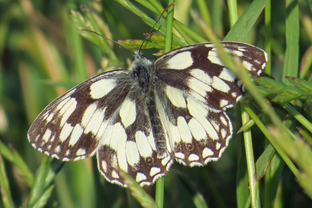 Black and white butterfly resting on green foliage