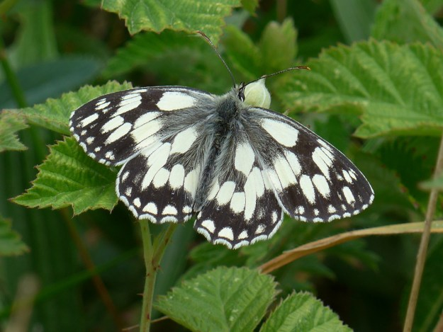 White butterfly with black markings resting on a green leaf