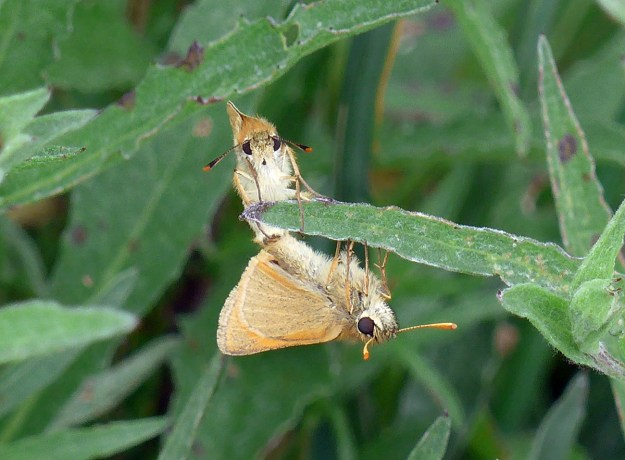 View of two golden brown butterflies mating in green vegetation