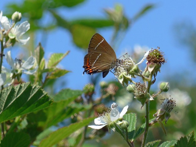 Brown butterfly with some orange and white markings resting on a bramble flower