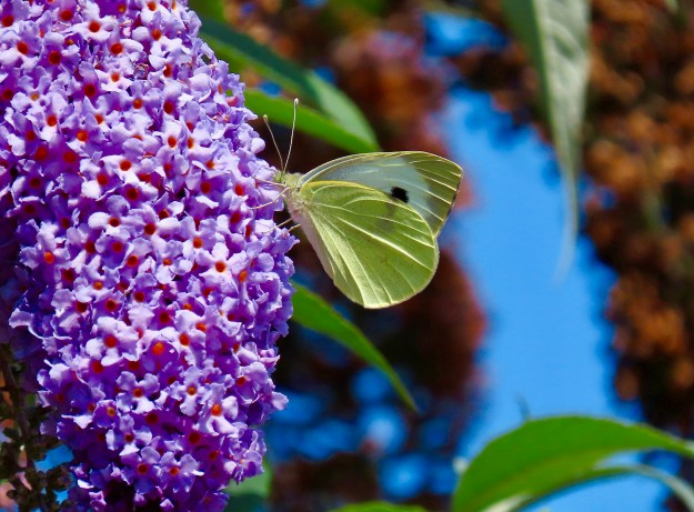 Greenish white butterfly with black markings nectaring on a purple Buddleia flower