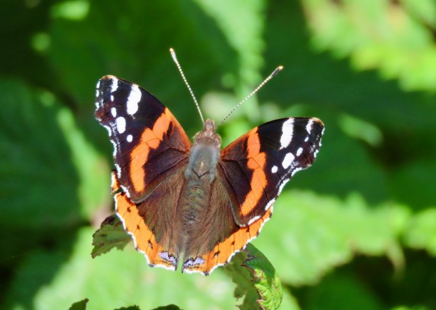Reddish orange butterfly with black and white markings resting on a green leaf