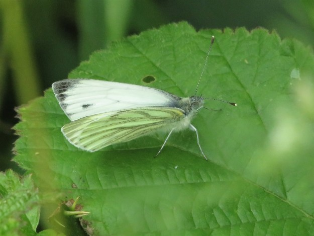 A white butterfly with black and greenish markings resting on a green leaf