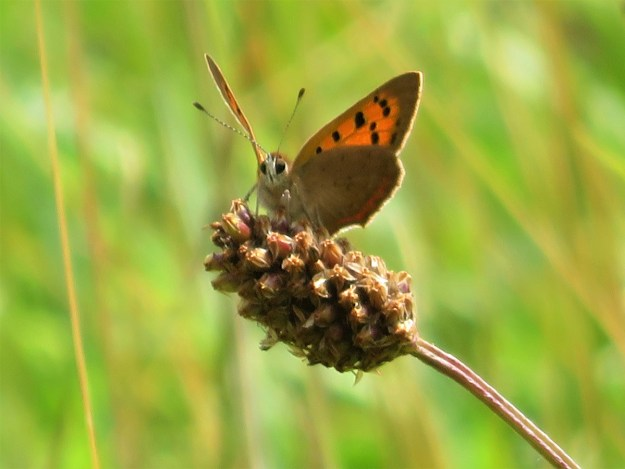 Orange butterfly with black markings perched on a seed head