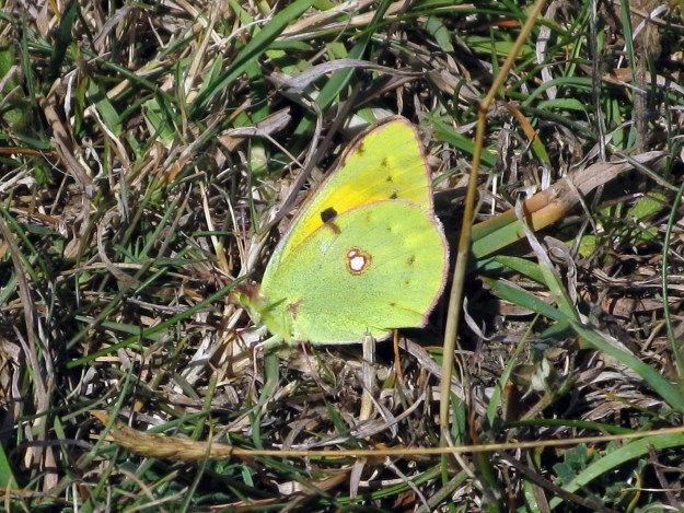 View of a greenish yellow butterfly with some white and black spots resting on some vegetation