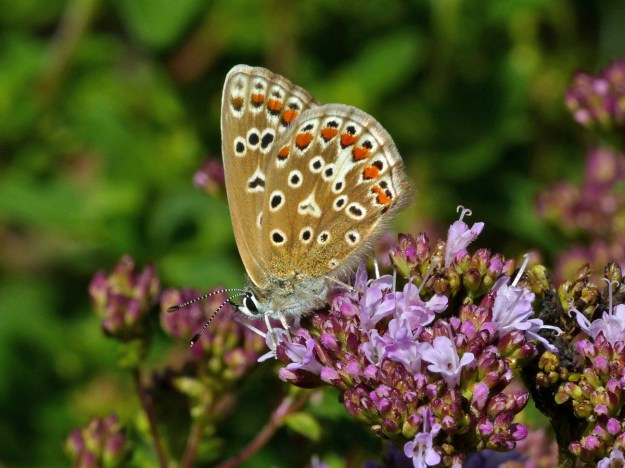 Light brown butterfly with orange, black and white markings nectaring on a pink flower