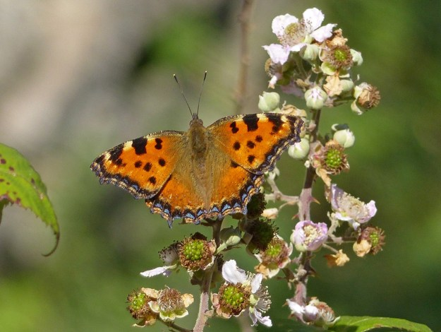 Orange butterfly with black, yellow and blue markings nectaring on white bramble flowers