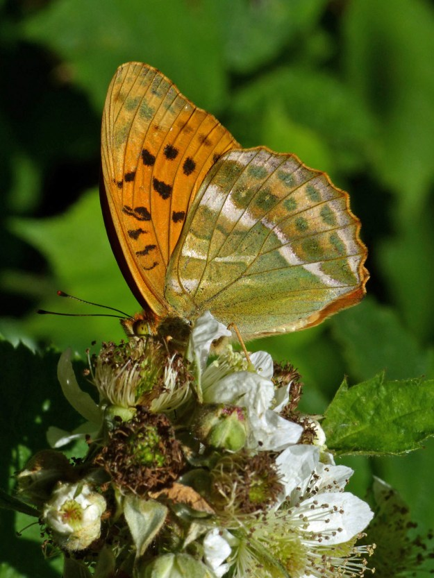 Orange and part green butterfly with black and white markings nectaring on a white bramble flower