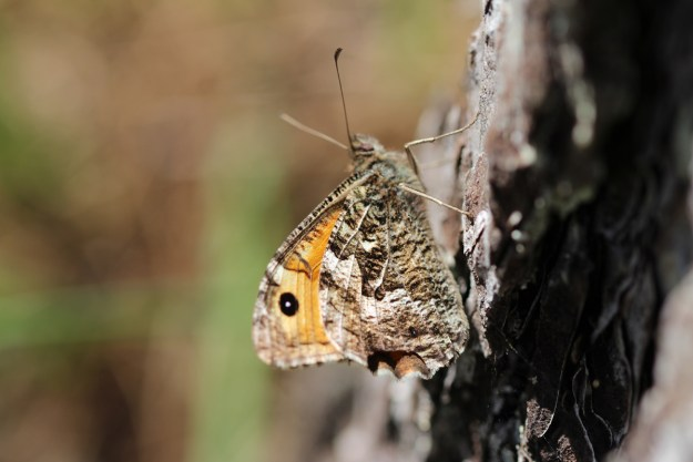 Greyish brown and orange butterfly resting on a tree trunk