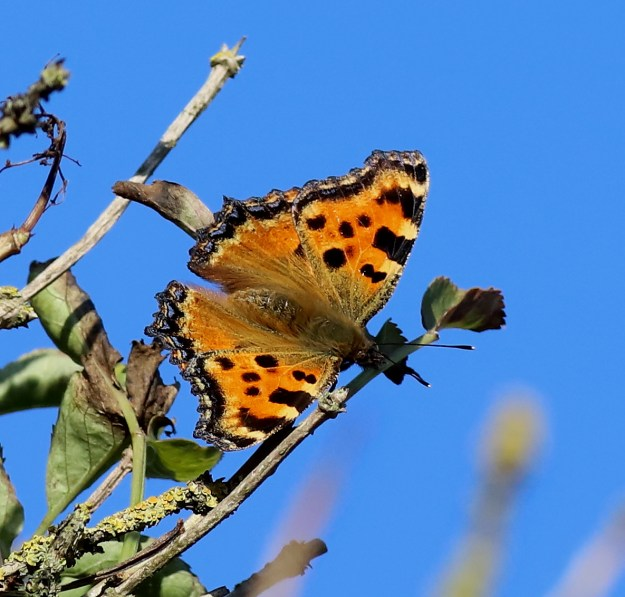 Orange butterfly with black, yellow and blue markings perched on a twig