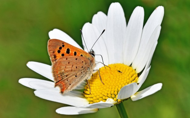 Orange and pale brown butterfly with black markings nectaring on a white and yellow flower