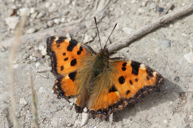 A resting orange butterfly with black and yellow markings