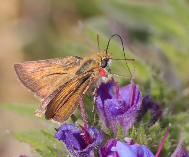 Golden brown butterfly nectaring on a purple flower