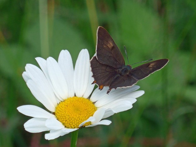 Dark chocolate brown butterfly with some orange markings nectaring on a white flower