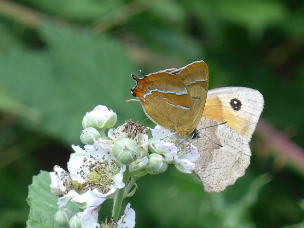 Brown butterfly with some white and orange markings nectaring on a white bramble flower next to another brown and orange butterfly.