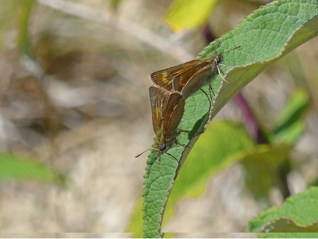 Two brown butterflies with gold coloured markings on a green leaf